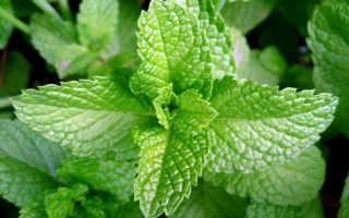 Можно ли кормящей маме перечную мяту: все; за и против; травяного чая при грудном вскармливании