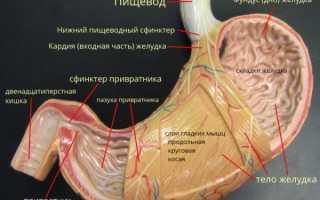Размер желудка