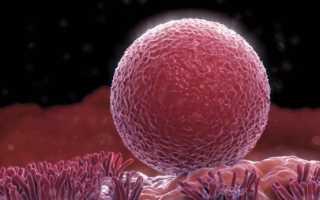Сколько живет яйцеклетка после овуляции, как определить лучшее время для зачатия